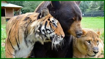 orso-leone-tigre1